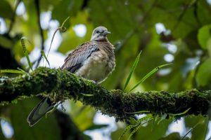 Environmental doomsday: Kashmir's vanishing turtle doves