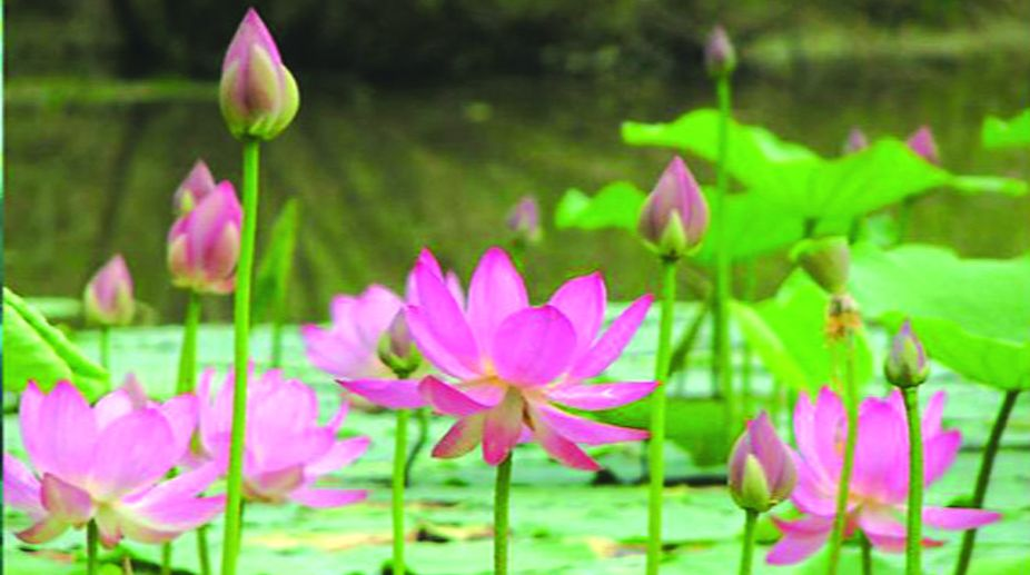 lotus, Lotus Temple, Aphrodite Khrisnamurthi