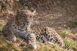 Endangered wild cat sighted in Gangotri National Park