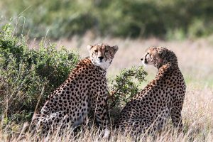 Cheetahs must be listed as 'endangered', say scientists