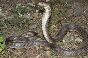 In a first, Central Asian Cobra species sighted in Himachal