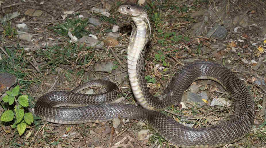 snake, cobra