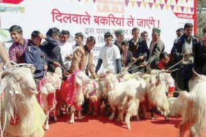 Row over goat marriage in U'khand