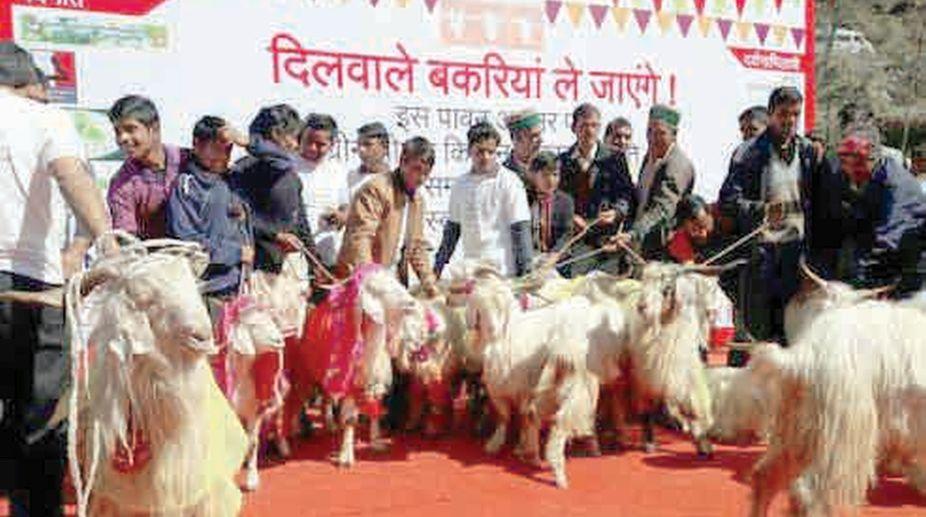Goats in 'Swayamvar' at Pantwari in district Tehri.