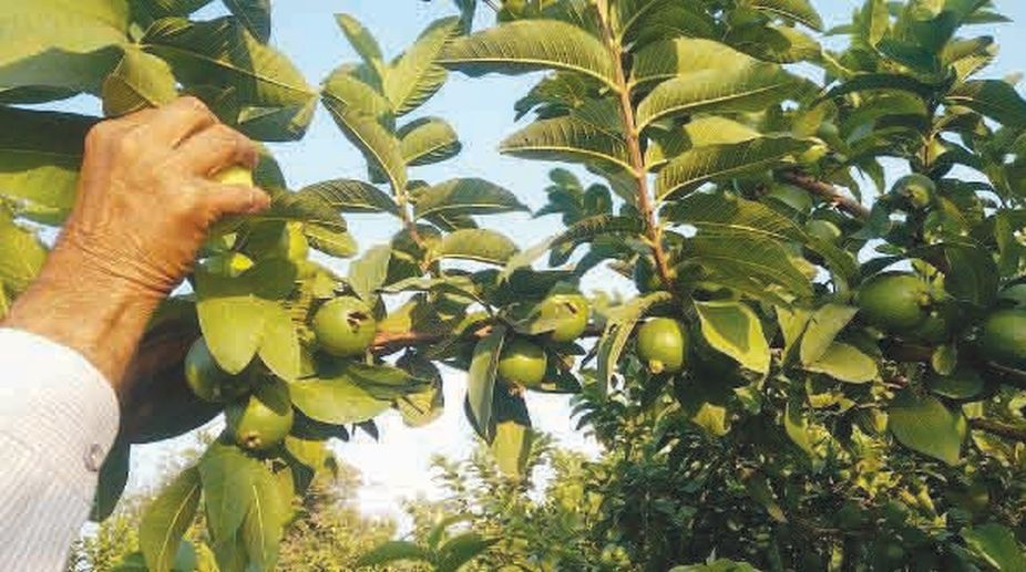 Growing-Guava-Fruits