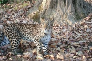 No territory fight, leopards live in camaraderie to terrorize villagers
