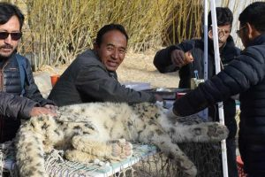 Injured snow leopard rescued in Leh
