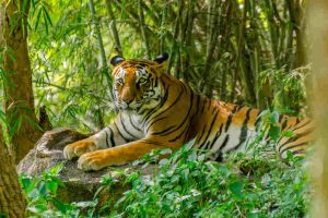 Tiger dread in Lalgarh forest