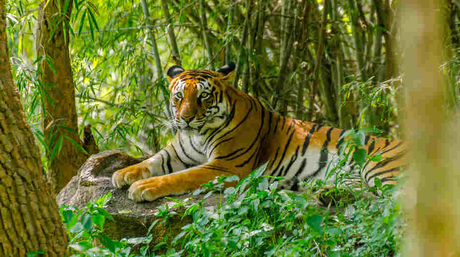 Madhya Pradesh tigers, Madhya Pradesh, Shivraj Singh Chouhan, ex forest officer, Tigers death, Kangha-Panna Tiger Reserves