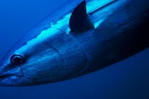 Giant tuna fetches $323,300 in Tokyo market