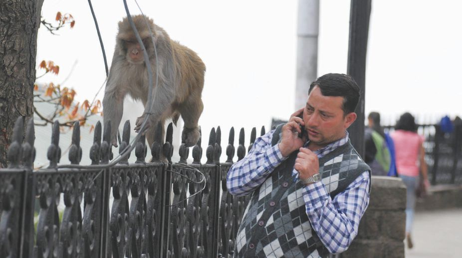 Pic to be used with archanaphull story from shimla Monkey menace in Shimla. (Photo: Lalit Kumar)