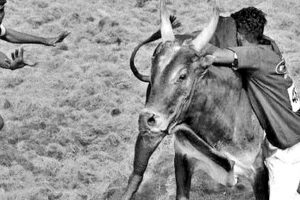 SC to hear PETA plea on Jallikkattu deaths