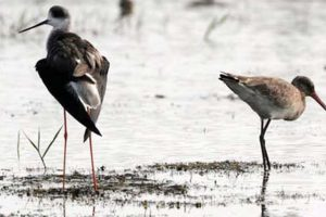 Bhitarkanika's migratory birds' habitats on high alert for bird flu