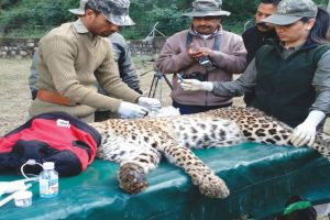 Another leopard moved to rescue centre