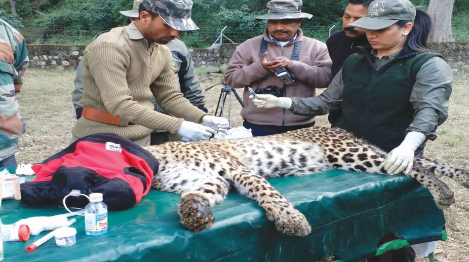 Forest dept team inspecting the tranquilised leopard in Haridwar on Friday SNS