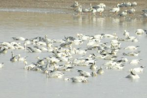 Fewer winged guests at Pong reservoir this year