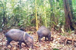 'Crop raiders' of the Amazon