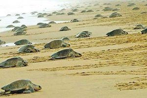 Odisha CM appeals for conservation of Olive turtles