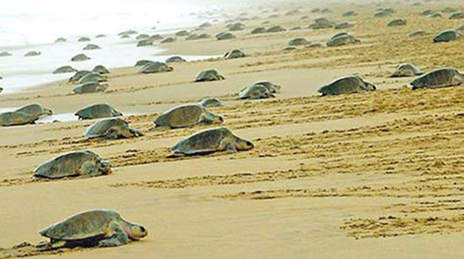 turtles, Olive Ridley, Odisha, Gahirmatha beach