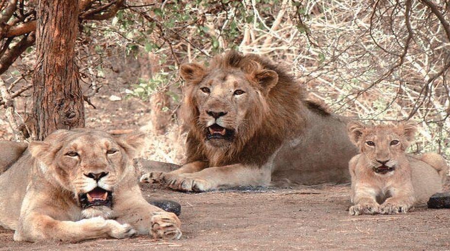 lions death, Gujarat lions, Gujarat HC, Central govt, Gujarat Lions death, Gir sanctuary