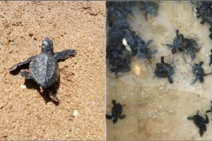Olive Ridley turtles return to Mumbai's Versova beach after 20 years
