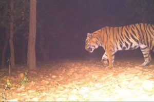 'Tiger terror' back in Lalgarh