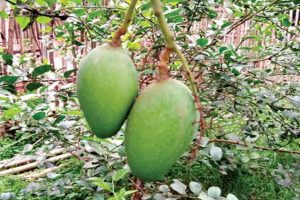 Malda hopes for bumper mango yield this year
