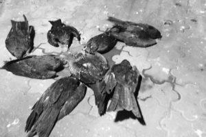 Concern as kites fall ill, die in Siliguri