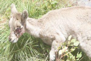 Blue sheep eye infection forces Gangotri park to take steps