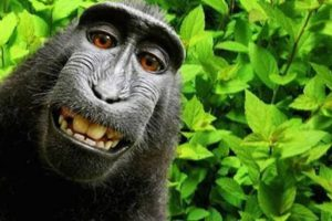 Monkey Naruto loses legal battle for selfie copyright