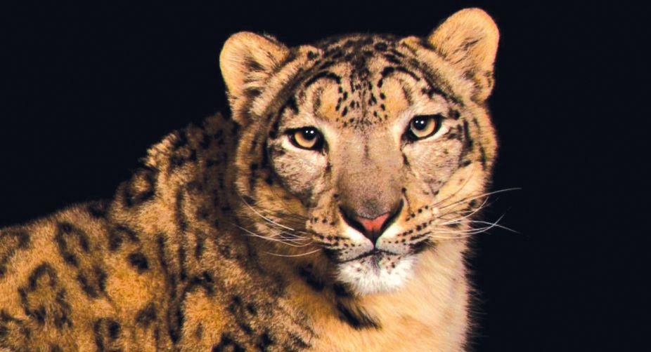 Himalayas, snow leopards, climate