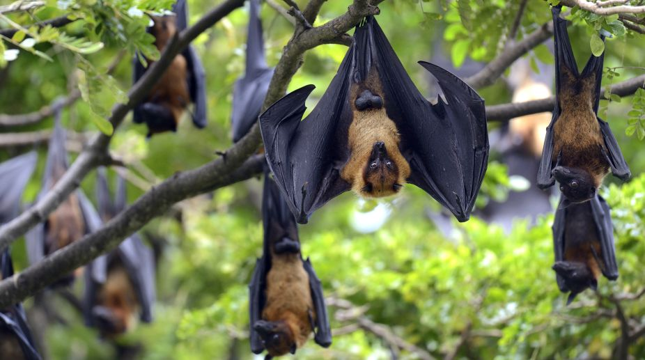 Nipah, fruit bats