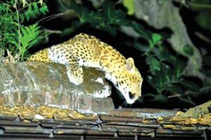 Leopard near Siliguri mall keeps town on edge