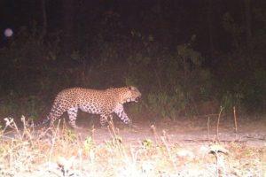 Raiwala's killer leopard declared man-eater