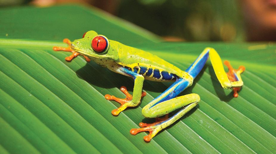 Red eyed tree frogfrog, tree frogs, Western Ghats, fertilizes