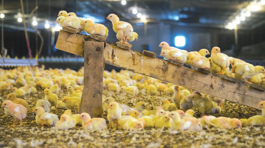 Perdue will study the effects of features such as perches in chicken houses. It hopes to double the activity levels of its chickens in the next three years.