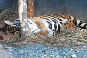 Royal Bengal tigress gives birth in Siliguri park