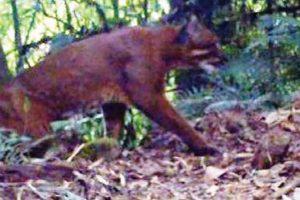 Buxa cameras catch rare Golden Cat
