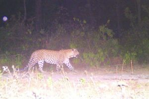Killer leopard declared man-eater