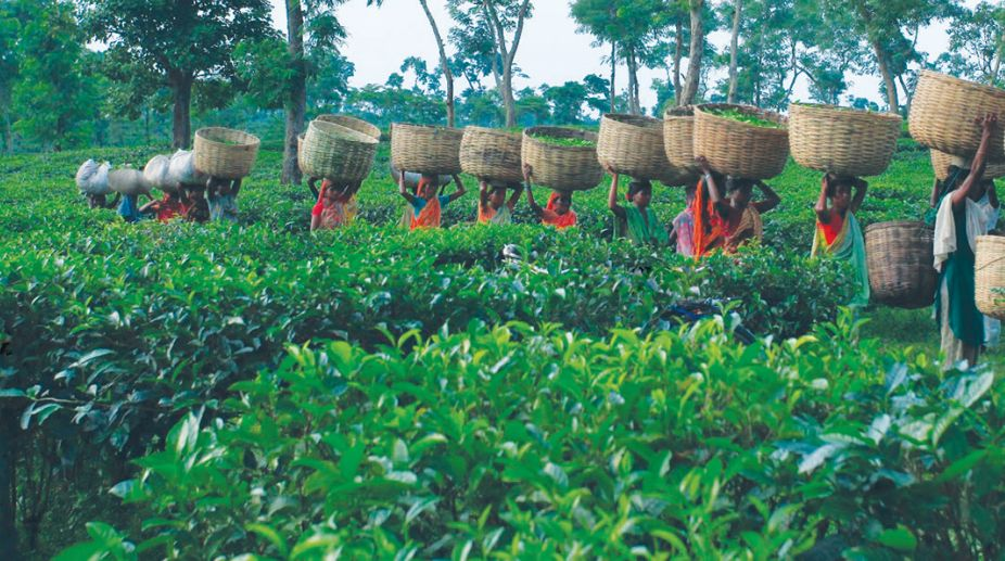 British East India Company, tea gardens, tripura's tea industry