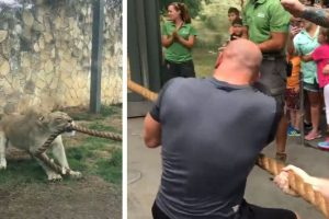 Watch a lioness defeating 3 WWE superstars in tug-of-war competition