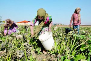 Child labour in agriculture rising: FAO