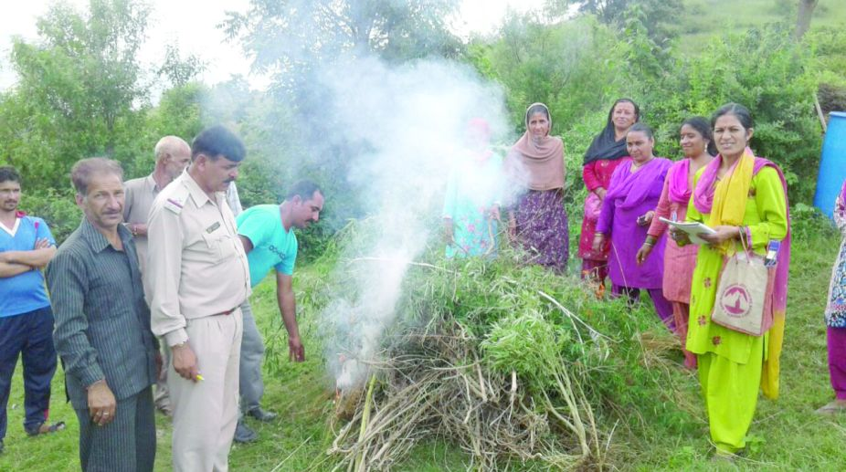 Police officials along with locals participating in cannabis eradication campaign. (Photo: SNS)