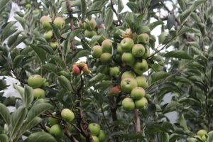 Himachal farmers hail hike in import duty of 'Washington Apples'
