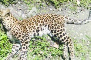 Leopard curfew
