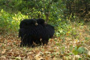 Hidden camera captures mother bear carrying cubs at Rajaji Tiger Reserve