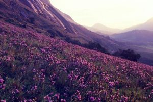 Neelakurinji blooming season ahead, Kerala Tourism expects high footfall