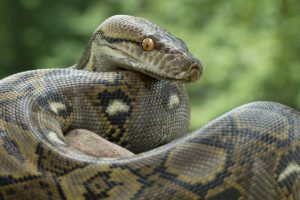 Indonesian woman swallowed alive by 8-metre-long python