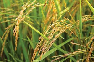 A plan to improve rice yields