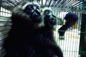 DRI arrests two for smuggling gibbons, exotic birds from B'desh